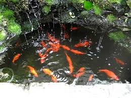 backyard aquaponics waterfall pond with goldfish feeding time