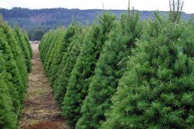Tannenbaum Christmas Tree Farm Michigan by O Christmas Tree Recycling Christmas Trees On The Golf Course