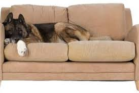 Fleas Hardwood Floors Borax by How To Kill Fleas On A Couch And In Rugs Home Guides Sf Gate