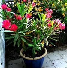 laurier en hiver jardinage forum vie pratique