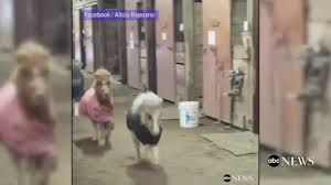 Adorable Miniature Horses Race A Dog Around A Barn - YouTube Just Horses In The Barn Horse Portraits Treading George Washingtons Mount Vernon How Your Horse Learns By Watching You Owners Resource In A Painted Petcustom Pet Patings Two Cadian And Snow Weather Stock Video Footage East Bay Real Estate The West Side Story Barns For Miniature Small Horizon Structures Cooling Horses Archives Windmill Ceiling Fans Offtopic Monday Photos Peace Love Fostering Arabian Stable Looking Over The Barn Door Nice Using Premise Sprays To Protect Absorbine