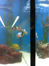 Petco Fish Aquarium Decorations by Pic Petco Had Snowflake Clownfish For 40 Today Fish