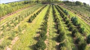 Winterberry Christmas Tree Farm Pa by Wetland Trees And Shrubs Buy Trees Online Call 215 651 8329