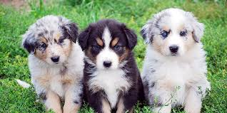 Small Non Shedding Dogs Australia by Australian Shepherd Information Characteristics Facts Names