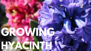 how to grow plant hyacinth bulbs diy container garden cut flower