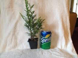Christmas Tree Saplings For Sale Ireland by Amazon Com 25 Thuja Green Giant Arborvitae 10 16