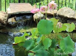 Loving And Caring For Our Backyard Pond | Poofing The Pillows Water Gardens Backyard Ponds Archives Blains Farm Fleet Blog Pond Ideas For Your Landscape Lexington Kentuckyky Diy Buildextension Album On Imgur Summer Care Tips From A New Jersey Supply Store Ecosystem Premier Of Maryland Easy Waterfalls Design Waterfall Build A And 8 Landscaping For Koi Fish Pdsalapabedfordjohnstownhuntingdon Pond Pictures Large And Beautiful Photos Photo To Category Dreamapeswatergardenscom Loving Caring Our Poofing The Pillows