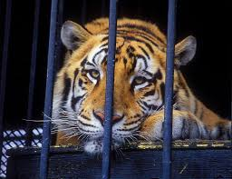 Tony The Truck Stop Tiger Euthanized After 17 Years As Grosse Tete ...