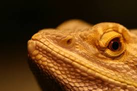 shed stuck in nostril for 2 months bearded dragon org