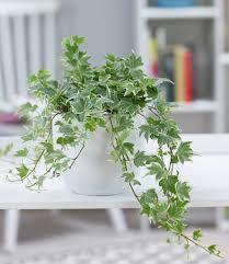 efeu white ripple 1 pflanze hängepflanze kaufland de