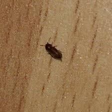 kleine braune käfer im kinderzimmer insekten schädlinge
