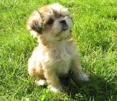 Shed Free Dogs Pictures by 28 Shed Free Lap Dogs Havanese Akc Non Shedding Small Lap
