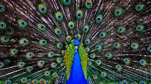 Peacock Wallpaper Hd Download