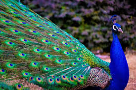 Peacock Pictures Widescreen HD Wallpapers For Desktop