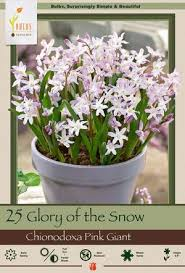 of the snow chionodoxa forbesii pink from netherland bulb