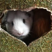 Can Guinea Pigs Eat Pumpkin Seeds by Squidgypigs Rosewood I Love Hay Cube Guinea Pig Review U2013 Squidgypigs