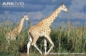 Adult And Juvenile West African Giraffe