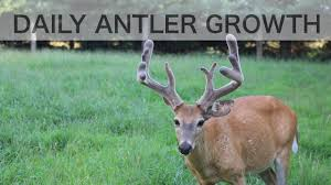 When Do Whitetails Shed Their Antlers by Time Lapse Antler Growth Of Whitetail Deer See How Fast Antlers