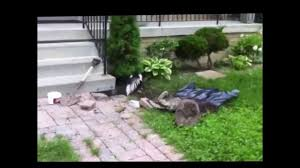 Skunk Removal Toronto, GTA - 360 Wildlife Control Inc - YouTube How To Get Rid Of Skunks From Under A Shed Youtube Rabbits Identify And Rid Garden Pest Of And Prevent Infestation With Professional Skunk In Backyard Outdoor Goods To Your Yard Quick Ideas Image Beasts Diggings Droppings Moles Telegraph Mole Removal Skunk Control Treatments Repellent For The Home Yard Garden Odor What Really Works Pics On Extraordinary Affordable Wildlife Control Toronto Raccoon Squirrel Awesome A Wliinc