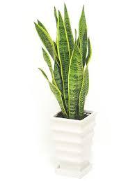 plante de bureau 10 best plante pour le bureau images on plants desk