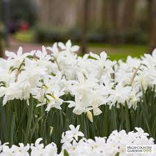 thalia daffodil bulbs narcissus triandrus high country gardens