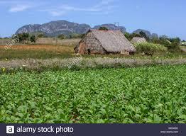 Tobacco Fields In Vinales Valley Cuba