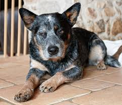 blue heeler a complete guide to the australian cattle dog
