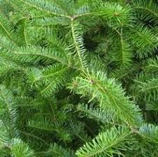 Balsam Christmas Tree Care by Balsam Fir Info How And When To Plant Balsam Fir Trees