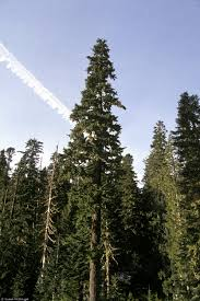 Noble Christmas Trees Vancouver Wa by The Largest Pacific Silver Fir Abies Amabilis Tree Known Was In