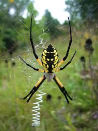 Are-gee-OH-pee Our-ON-tea-uh (wonderful Are Garden Spiders ... R2rustys Chatter September 2017 Ladybugs Backyard And Beyond Birdingand Nature Golden Silk Orb Weaver Spider In Bug Eric Sunday Black Yellow Argiope Glass Beetle By Falk Bauer A Backyard Naturalistinsects Ghost Spiders Family Anyphnidae Spidersrule C2c_wiki_silvgarnspider_hrw8q0m1465244105jpg Aurantia Wikipedia Two Views Sonoran Images Elephant Tiger Skin Spiny Blackandyellow Garden Mdc Discover Power Animal For October Shaman Amy Katz