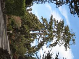 Best Christmas Tree Farms Santa Cruz by Trees Of Santa Cruz County Pseudostuga Menziesii Douglas Fir