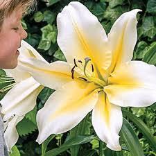 lilies sold at michigan bulb