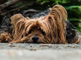 Shih Tzu Lhasa Apso Shedding by Dog Breeds In India That Shed A Lot Pet Like That Blog