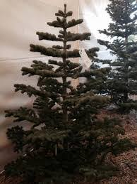 Popular Artificial Silver Tip Christmas Tree by Red Fir Silver Tip Bishop And Mathews Christmas Trees