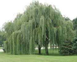 Does Aspirin Work For Christmas Trees by Willow Tree Willow Tree Gardens And Flowers