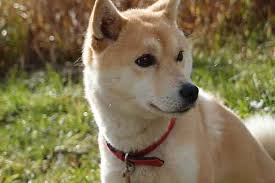 do shiba inus shed hair a guide to shiba inu shedding causes and solutions