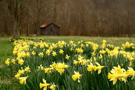 File:Barn-wildflowers-spring-daffodil - West Virginia ... 24x40x12 Residentiagricultural Barn In Ashland Va Rmh14012 Another Beautiful Old Tobacco Barn Pittsylvania County Virginia Metal Garages Barns Sheds And Buildings Tomahawk Ribeye 46oz From Aberdeen Beach The Sierra Vista Wedding Venues Pinterest June 2017 Roadkill Crossing Mail Pouch Southern Indiana This Is A Few Mil Flickr Green Bank West On Farm Rural Pocahontas Tobacco Reassembled Albemarle Joseph Windsor Castle Smithfield Va These Days Of Mine Barnscountry Living