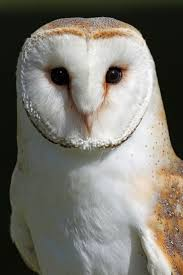 150 Best Barn Owls Images On Pinterest | Barn Owls, Children And ... Owls Loft Barn Owl Projects Warren Photographic Owls Snowy Saw Whets Watching Out For Part 1 The Official Blog The Molly Corfield Habichatter Twitter Australian Masked Owl Tyto Novhollandiae Birdsstrigiformes Tonys Desk Innovative Ipdent Informed Blog Natureslens By Jaewoon U On 500px Spirito Barbagianni Crafts Mobile Trust Injured Barn Rescued Wildlife Friends Foundation Thailand 13 Best Images Pinterest Cotswolds