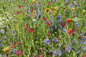 Backyard Meadow Care – Tips For Maintaining A Wildflower Meadow In ... Free Images Blossom Lawn Flower Bloom Backyard Botany Go Native Or Wild News Creating A Wildflower Meadow From Part 1 Youtube Wildflower Garden Update Life In Pearls And Sports Bras Budapest Domestic Integrity Field Of Wildflowers She Shed Decorating Ideas How To Decorate Your Backyard Pics Best 25 Meadow Garden Ideas On Pinterest Rockoakdeer Neighborhood For National Week About Texas A Whole Wildflowers For Tears The Duster Today Fields Flowers Design With Apartment Balcony