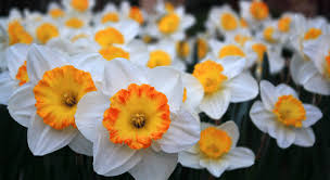 grounded design by rainer the best daffodil plant list