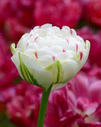 tulip danceline bulbs buy at farmer gracy uk