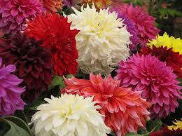 kinds of dahlia flower bulbs sale dahlia flowers