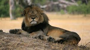 Animal Management Practices May Make All The Difference For Lions Like Cecil Above