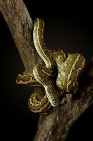 Coastal Carpet Python Facts by Jaguar Coastal Carpet Python Morelia Mcdowelli Snakes Reptiles