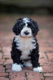 Portuguese Water Dog Shedding Problems by Portuguese Water Dog Tail Waggers Pinterest Portuguese