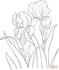Iris Germanica Coloring Pages To View Printable Version Or Color It Online Compatible With IPad And Android Tablets