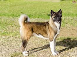 Dogs That Dont Shed A Lot by Akita Dog Breed Information Buying Advice Photos And Facts