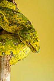 Snakes And More Aru Locality Type Green Tree Python Photo