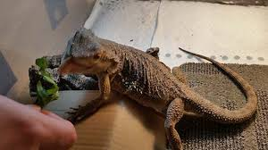 bearded dragon diet feeding pogopogona