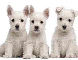 Beautiful Template For Dog Ears Otitis Ear Problems In Puppies